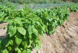 fruitful hill basil